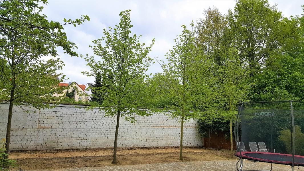 gepflanzte Bäume (Linden)